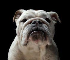 Dog Portraits by Gerrard Charles Gethings