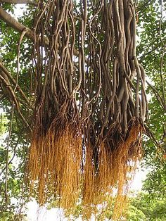Tree Roots, Hair Styles, Nature, Beauty, Beleza, Hair Looks, Cosmetology, Hair Cuts, Hairdos
