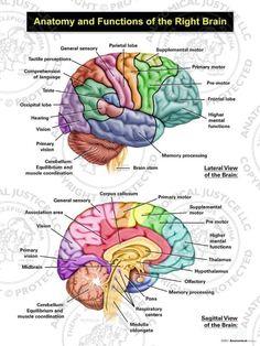 Human Body Anatomy, Human Anatomy And Physiology, Brain Anatomy And Function, Brain Models, Brain Science, Brain Gym, Psychology Studies, Right Brain, The Brain