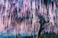 Photograph Wisteria by sugurubaba on 500px