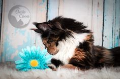 Maine Coon, Cattery