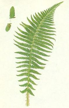 Kapraď samec (Polypodiophytea) Plant Leaves, Plants, Plant, Planets