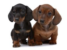 How much does a Dachshund Puppy Cost? Click the picture to read