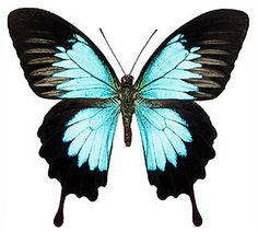 Papilio ulysses orsippus (Guadalcanal, Solomons) A-