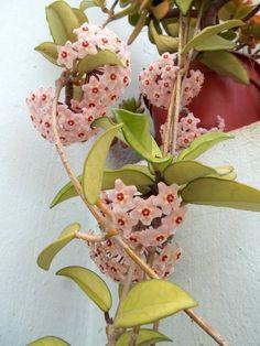 flor de cera, flor de nácar
