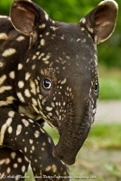 The Malayan tapir (Tapirus indicus), also called the Asian tapir, is the largest of the four species of tapir and the only one native to Asia. I used to want to be a Tapir keeper in a zoo. Love these animals. The Animals, Unusual Animals, Nature Animals, Cute Baby Animals, Funny Animals, Wild Animals, Strange Animals, Rainforest Animals, Small Animals