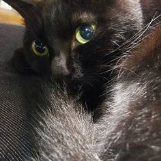 いいね!243件、コメント18件 ― クロチアちゃんさん(@kurochiachiyan)のInstagramアカウント: 「尻尾からのチアちゃんちょっとクールかな #黒猫 #猫 #cat #blackcat」