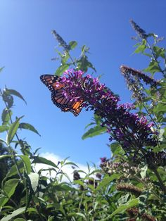 Monarch butterfly in dunedin #my photography