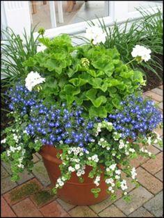 White Geranium, blue Lobelia, white Bacopa