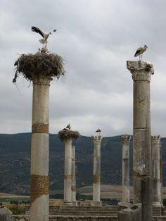 Storks in Volubilis Morocco
