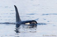 male orca L85 Mystery, born 1991 by Andrew Reding | Flickr - Photo Sharing!