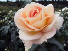 Beetrose Marie Antoinette ® Züchter Rosen Tantau 2003