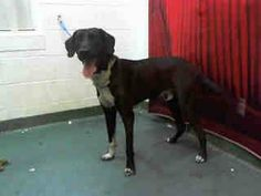PINNERS CAN YOU HELP THIS DOG? BOBBY HAS 3 SHARES ON FACEBOOK! HE'LL NEVER GET ADOPTED THAT WAY. He has a cold & needs out of the shelter ASAP. Please hit that share button for him. BOBBY - ID#A1611459, 1 YR. male, black /white Lab mix. Miami Dade, FL https://www.facebook.com/MiamiShelterBigBulliesBlackBeenArounddogs/photos/a.544461462248882.138150.470632062965156/867761783252180/?type=1&theater