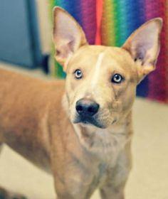 12/2015-Eli Dog • Shepherd & Pit Bull Terrier • Adult • Male • Medium Humane Society of Northeast Texas Longview, TX