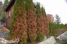 Evergreens turning brown in Winter means they maybe losing more water than they can replace. Both young and mature trees can also show browning from salt spray from deicing salts. Arborvitae Landscaping, Arborvitae Tree, Conifer Trees, Trees And Shrubs, Garden Landscaping, Evergreen Bush, Evergreen Shrubs, Garden Posts, Garden Steps