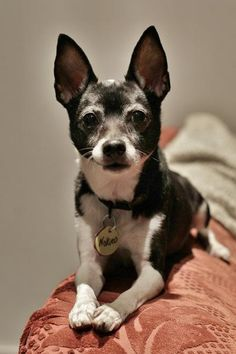 Nokieo is an adoptable Chihuahua searching for a forever family near Scarborough, ON. Use Petfinder to find adoptable pets in your area.