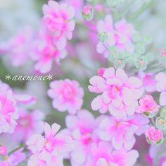 #サクラソウ#桜草#Primrose#プリムラ#flower