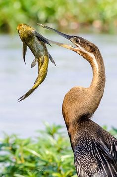 An African darter spears a slipper fish with its beak at Chobe river in Botswana  by Sabine Stolz Wildlife Photography