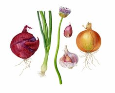 green onions drawing - Google Search