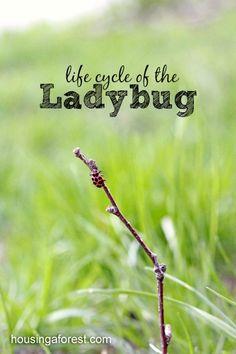 ladybug life cycle ~ Observing ladybugs with kids
