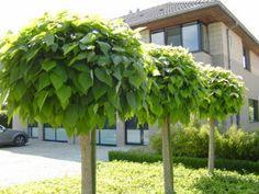 Catalpa Bignonioides 'Nana' Tropical Garden, Small Garden, Backyard Paradise, Garden Architecture, Garden Planters, Tropical Garden Design, Front Yard, Trees For Front Yard, Concrete Backyard