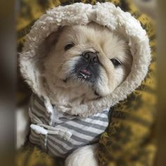 ぶぶ…赤ちゃんみたい✨ petlove #love #peke #dogs #dog #pets #pet #cute #pretty #dogstagram #Instadog #doglover #petstagram #pekingese #nature #ilovemydog #Instadaily #Instasize #Instalike #Instagood #pekistagram #ペキスタグラム