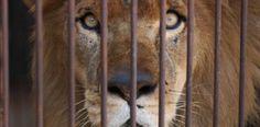 Llegan a Sudáfrica los 33 leones rescatados de circos en...