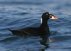 """A black-and-white seaduck common on the Pacific and Atlantic coasts in winter, the Surf Scoter has a boldly patterned head that is the basis for its colloquial name """"skunk-headed coot."""""""