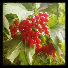 Guelder Rose. Berries