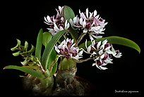 Indoor Benches - A Single Is Ideal For Creating A Cozy Den House Dendrobium Pachyphyllum Plant. A Species Orchid Color Green Orchid, Orchid Color, Orchid Plants, Exotic Plants, Flora Flowers, Exotic Flowers, White Flowers, Garden Plants, House Plants