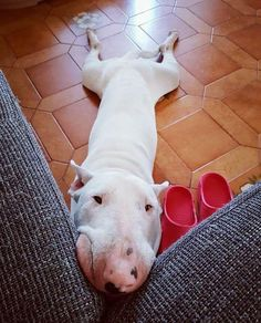 Uplifting So You Want A American Pit Bull Terrier Ideas. Fabulous So You Want A American Pit Bull Terrier Ideas. Bull Terrier Miniature, Mini Bull Terriers, Bull Terrier Puppy, English Bull Terriers, Terrier Dogs, Terrier Mix, Bull Terriers Anglais, American Pit Bull Terrier, Beautiful Dogs
