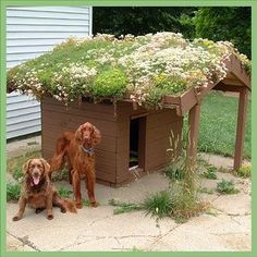 Sedum Green Roof for the Dog House. FAQ's, types and systems, plants, technical info.
