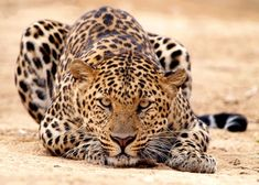 The leopard is my favourite of the African big cats