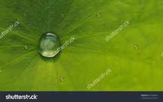 Water Droplets On Lotus Leaf Stock Photo 477283636 : Shutterstock