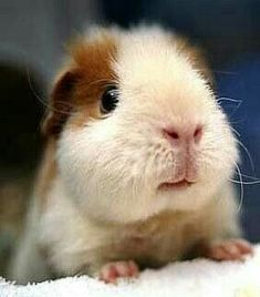 Guinea Pigs are perfect for children of all ages because not only are they small they dont need that much maintenance and they can even live up to 7 years in captivity.