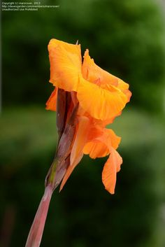 Full size picture of Orange-flowered Variegated Canna Lily 'Pretoria' (<i>Canna americanallis var. variegata</i>)