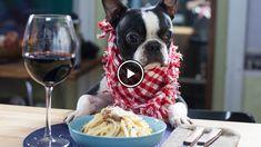 Boston Terriers Make the Best Spaghetti! Watch!