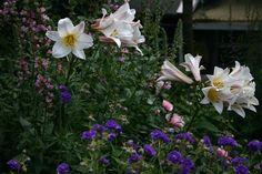 Lilium Regale, kattenstaarten en Geraniums