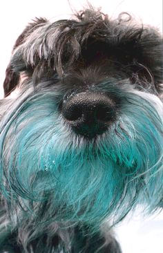 mini schnauzer in blue mood