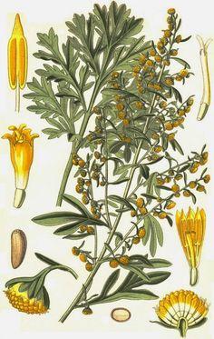 Las Plantas Curativas: Artemisa