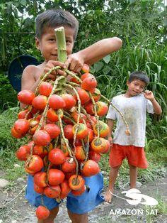Pejibaye ...pifá....Cacho de pupunha..fruto de palma