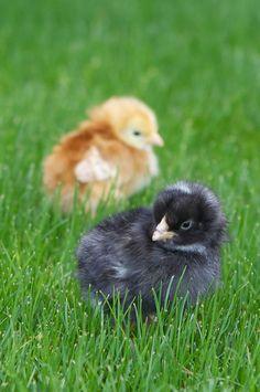 The Lemonista: Raising Pet Chickens ~ Phoenix Backyard Bliss