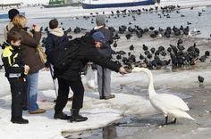 feeding a swan