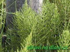 Přeslička rolní | Zdraví na dlani Korn, Herbs, Herb, Medicinal Plants