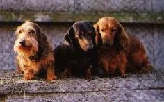 The Dachshunds