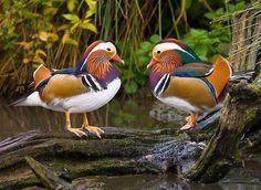 Via Twitter-Beautiful couple of wild duck's! RETWEET of @CUMALi_YILDIZ     pic.twitter.com/scLIYi0DH9<3<3