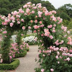 Strawberry Hill - Most Fragrant Climbing Roses - Fragrant Roses Beautiful Roses, Beautiful Flowers, Rare Flowers, Most Beautiful Gardens, David Austin Climbing Roses, David Austin Rosen, Strawberry Hill, Strawberry Garden, Fruit Garden