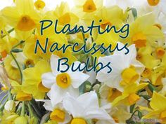 Planting Narcissus Bulbs