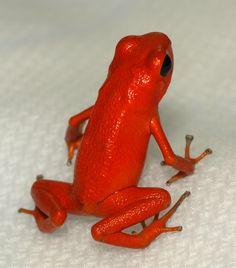 Red poison dart frog