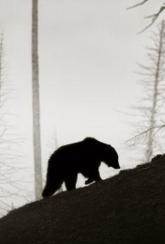 Медведей пост. фотография, бурые медведи, белые медведи, Животные, Природа, длиннопост